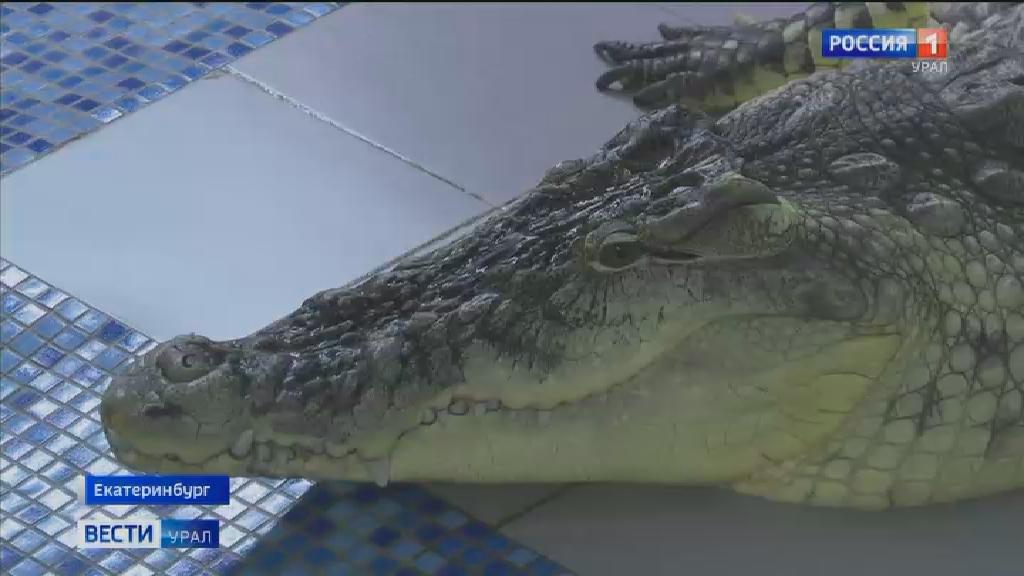 В Екатеринбурге живёт самый большой крокодил в России