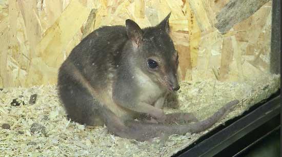 Детёныш кустарниковых кенгуру народился в Екатеринбургском зоопарке
