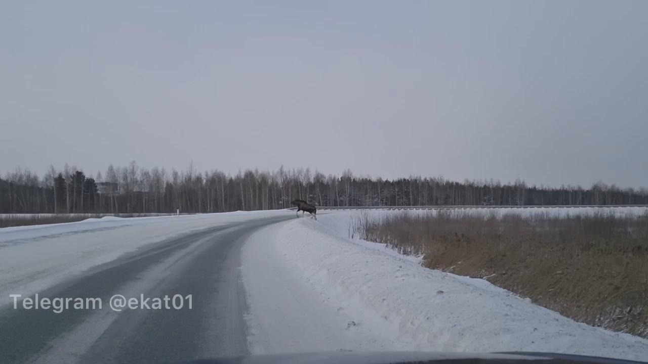 По Кольцовской трассе гуляет лось