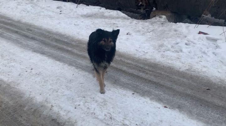 На нашествие бродячих псов жалуются жители Нижнего Тагила