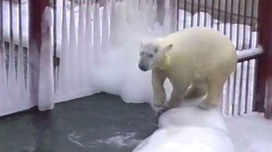 Белый медведь Умка умер в Екатеринбургском зоопарке