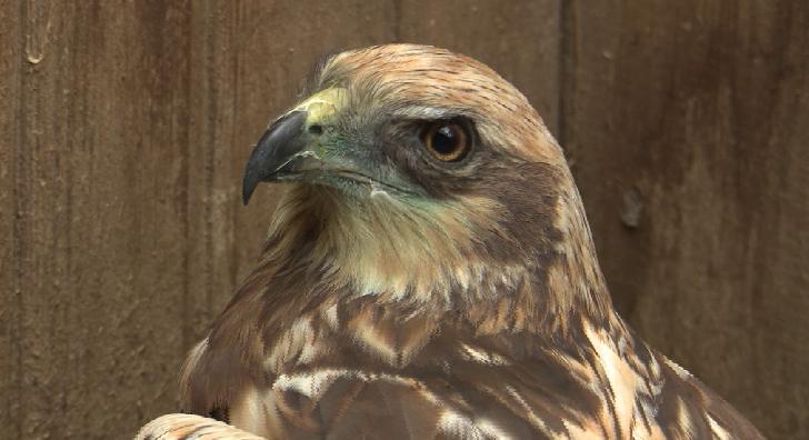 Раненый лунь пополнил центр реабилитации хищных птиц