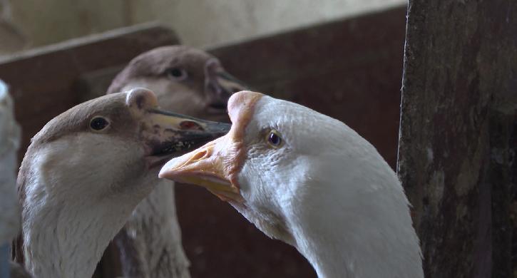 Жительница Режа устроила в квартире птичник