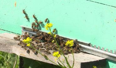 Массовый мор пчел в Шалинском районе