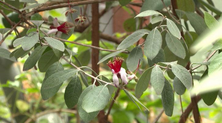 В Ботаническом саду зацвела фейхоа