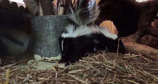 Шестеро малышей народились у скунсов в Екатеринбургском зоопарке