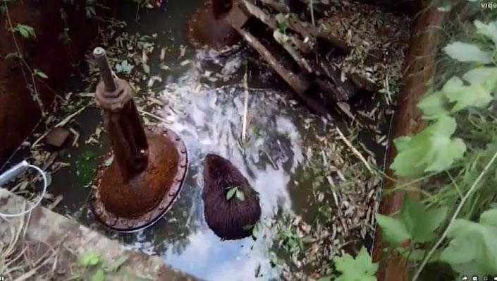 Бобров, попавших в ловушку, спасли в посёлке Белоярский