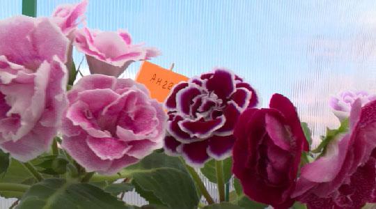 Пенсионерка из Екатеринбурга выращивает новые сорта цветов и даёт им имена