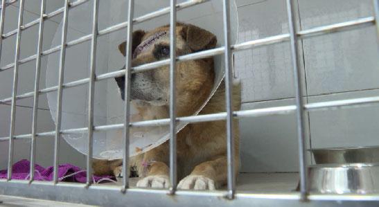 Уральские ветеринары спасают жизнь собаки, которую чуть не убил хозяин