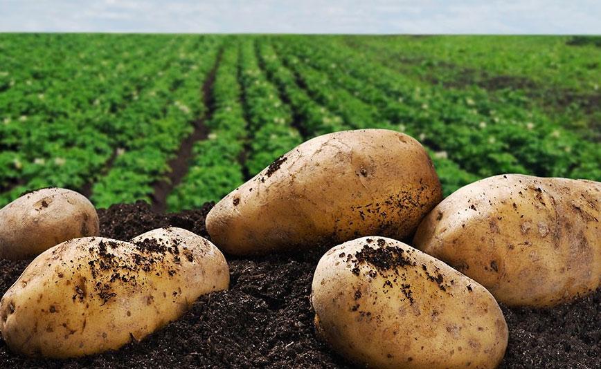На Урале в полях погибло до 50% картофеля