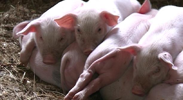 В Камышловском районе выявлена вспышка африканской чумы свиней