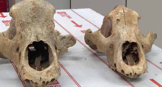 Уральские учёные привезли из экспедиции кости древних животных